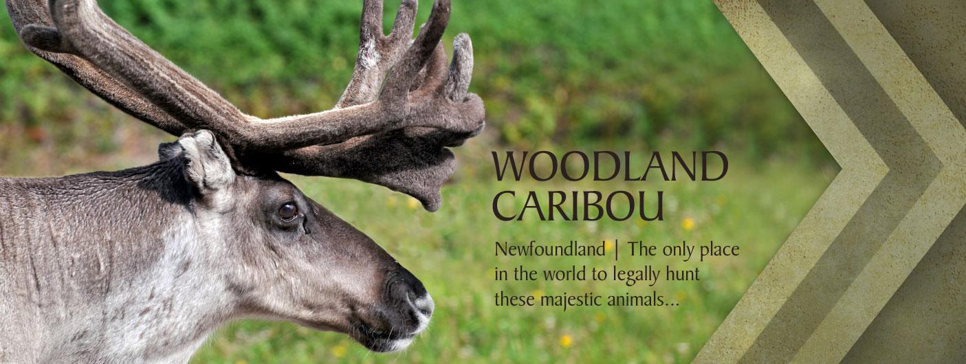 3_web_caribou